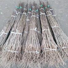 绿化苗杜仲小苗供应价格杜仲树苗批发价格图片