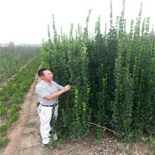银庄农业北海黄杨树苗1.5米北海道黄杨出售图片