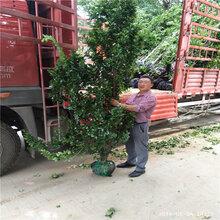 出售单价北海道黄杨出售1米北海道黄杨大量批发图片