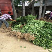 工程绿化行道树欢迎来电北海道黄杨批发价格图片