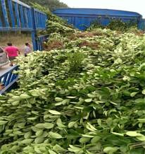 小叶黄杨价格北海道黄杨哪里有图片