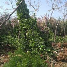 哪里有北海道黄杨1米北海道黄杨批发图片