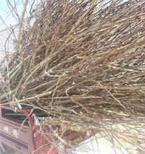 两年生山楂树苗怎么种植银庄农业科技山楂树苗图片