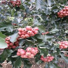 3公分山楂树苗种植山楂苗供应商图片