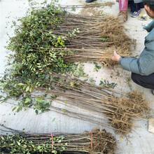 花椒树苗种植银庄农业直销图片