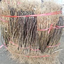 1公分花椒树苗种植银庄农业直销图片