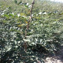 无刺花椒苗售价是多少大红袍花椒苗新品种图片