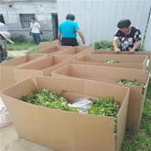 50亩花椒投资多少钱花椒苗价格图片