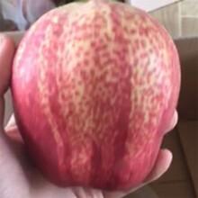 优质梨树苗多少钱一株梨苗基地直销图片