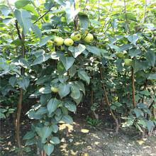 秋月梨苗新品种银庄农业出售图片