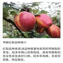优质梨树苗多少钱银庄农业出售图片
