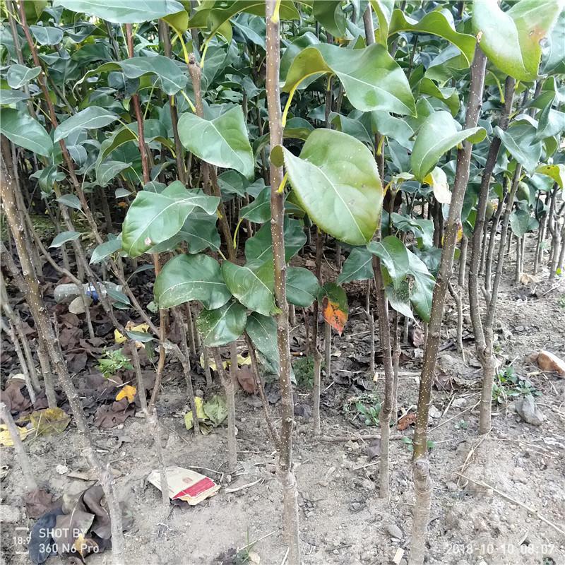 优质梨树苗多少钱银庄农业出售