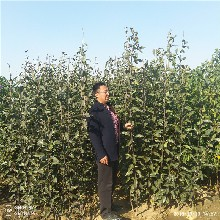 秋月梨苗种植基地直销图片