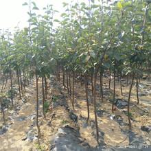 秋月梨苗多少钱一棵银庄农业出售图片