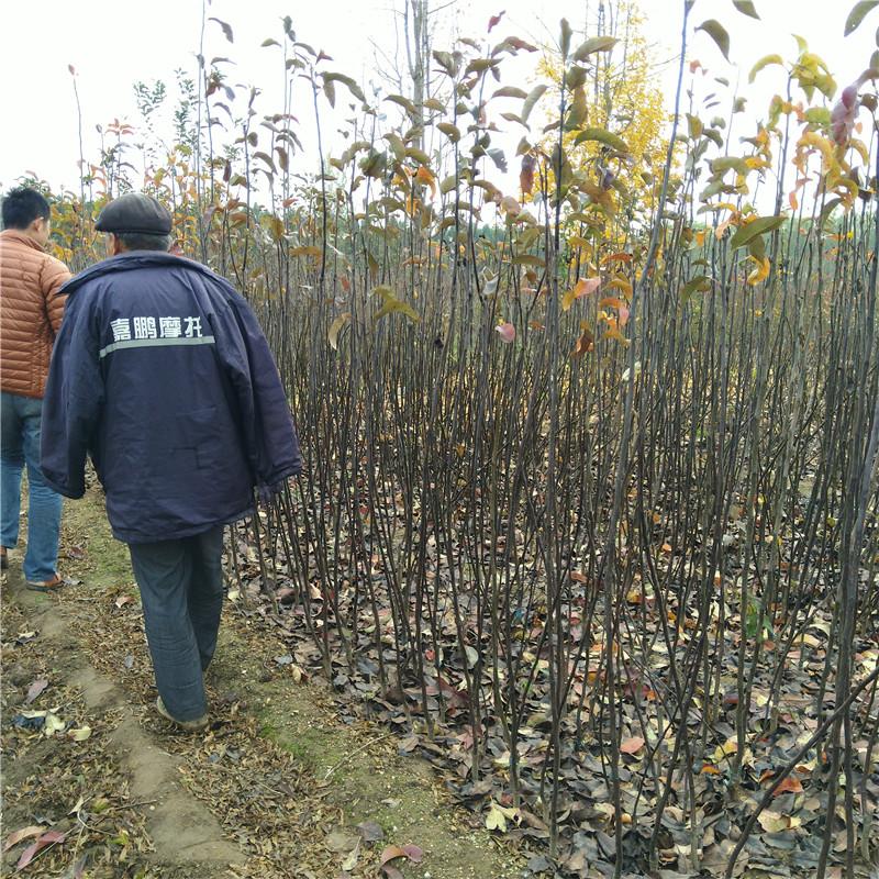 秋月梨苗种植基地直销