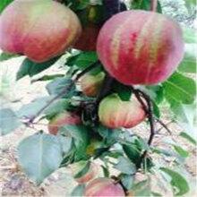 优质梨树苗哪里有卖现货供应图片