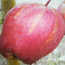 优质梨树苗种植银庄农业出售图片