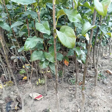 梨苗新品种银庄农业出售图片