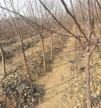 苹果树苗几年结果银庄农业直销