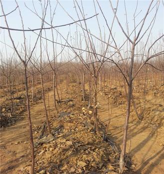 红肉矮化苹果苗多少钱一口棵山东基地供应