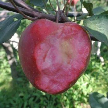 蘋果樹苗價格行情銀莊農業直銷
