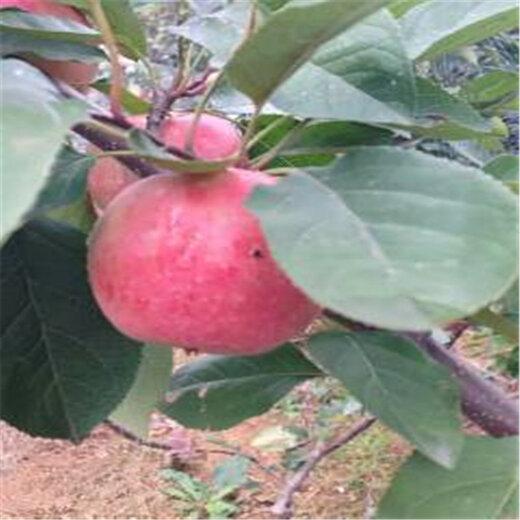 红肉苹果树苗图