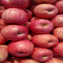 蘋果樹苗新品種蘋果樹苗幾年結果圖片