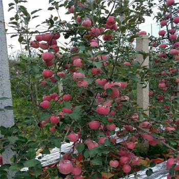 2公分红肉苹果苗多少钱一口棵山东基地供应