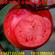 红肉苹果树苗