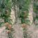 红肉矮化苹果苗