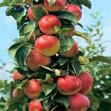 紅肉蘋果苗批發水果樹苗適應性強紅肉蘋果提供種植技術圖片