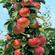 2公分红肉苹果苗
