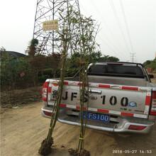 竹子哪里有卖自产自销竹苗图片