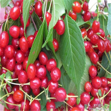 5公分樱桃苗一亩地种多少欢迎考察图片