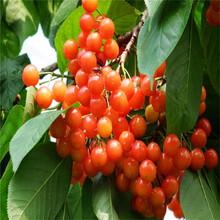 一年生樱桃苗新品种4公分樱桃苗图片