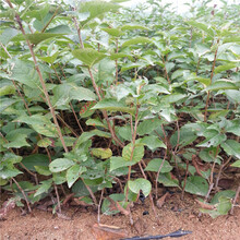樱桃苗品种樱桃苗图片图片