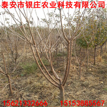 银庄农业6年大樱桃苗哪个品种好图片