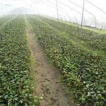 2公分樱桃苗种植方法樱桃苗成活率高图片