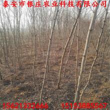 刺槐树种子刺槐树品种图片