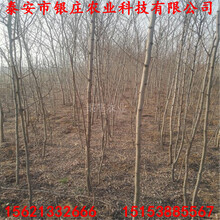 大小规格刺槐苗刺槐树图片图片