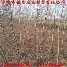 刺槐苗多少钱一棵刺槐树苗基地出售图片