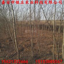 苗圃出售刺槐苗刺槐树图片图片