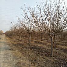 15公分高杆樱花高杆樱花树多少钱图片