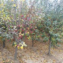 基地供应冬红果海棠8公分冬红果海棠价格图片
