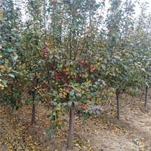 苗圃自产自销冬红果海棠8公分冬红果海棠多少钱图片