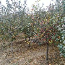 冬红果海棠苗多少钱绿化苗冬红果海棠图片