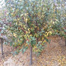 苗圃自产自销冬红果海棠冬红果海棠树苗价格图片