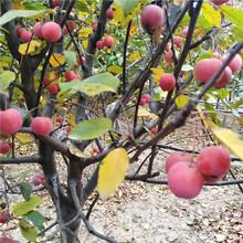 苗圃自产自销冬红果海棠冬红果海棠批发图片
