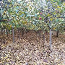 苗圃自产自销冬红果海棠冬红果海棠苗多少钱图片