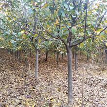 基地供应冬红果海棠冬红果海棠树苗价格图片